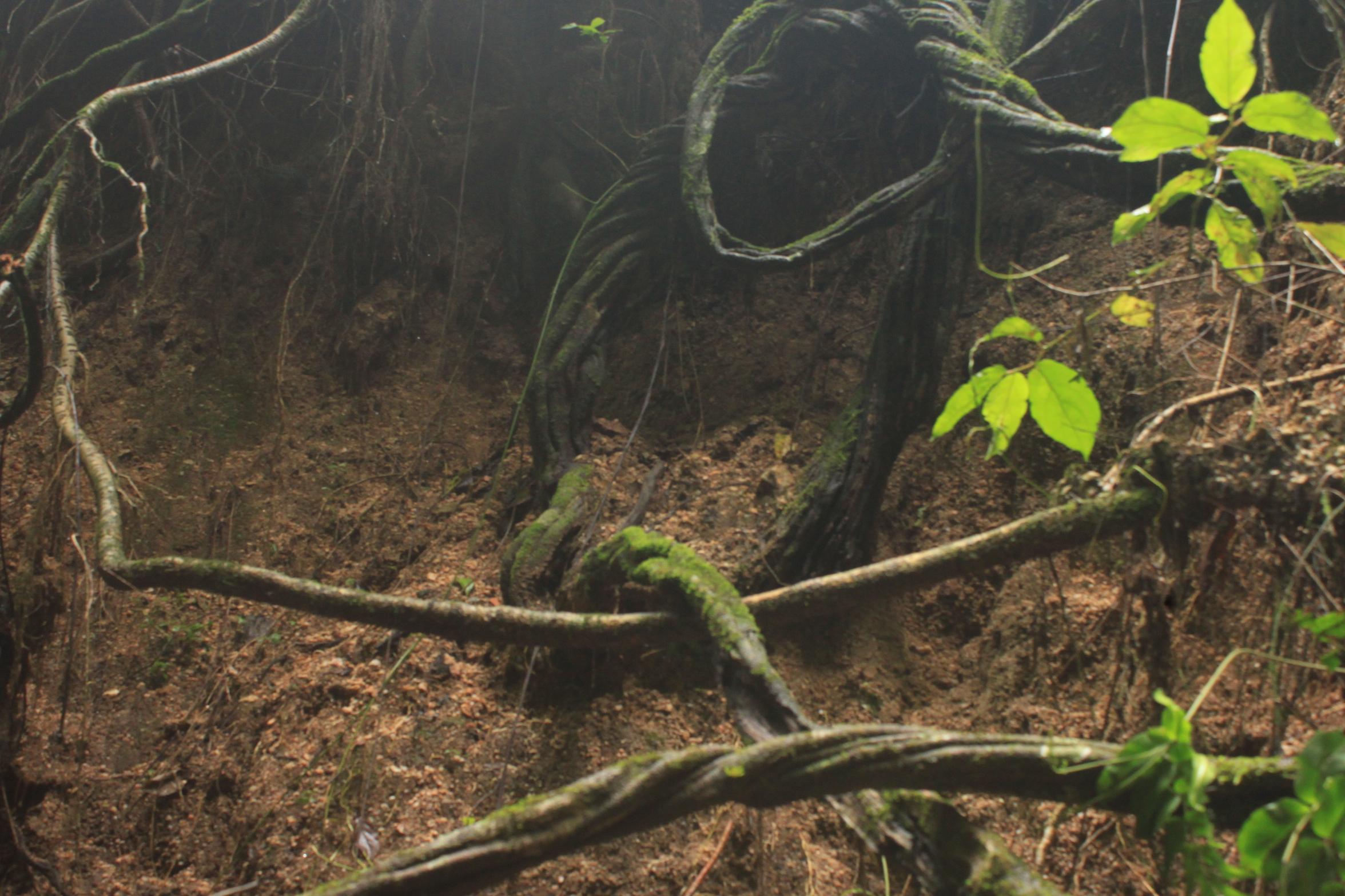 grossos cipós indicam que a floresta urbana está ali há muito tempo
